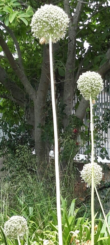 aglione toscano a fine fioritura