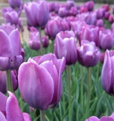 tulipani bleu aimable