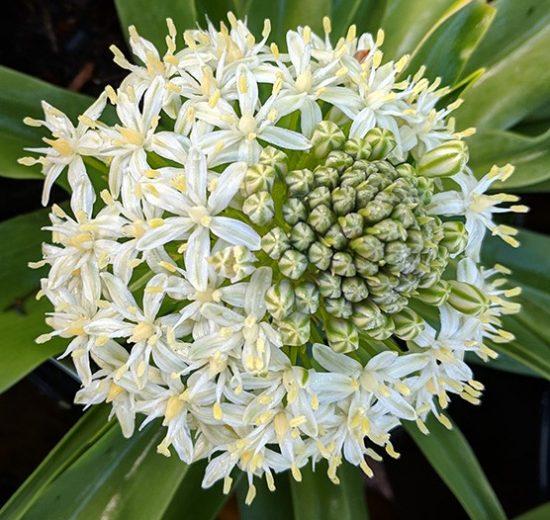 scilla peruviana white