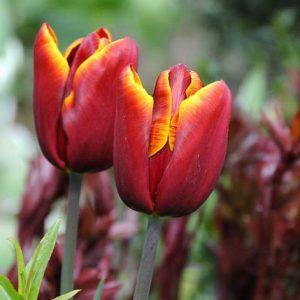 tulipani abu hassan