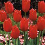 tulipani blood red