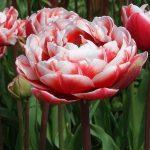 tulipani doppi cabella