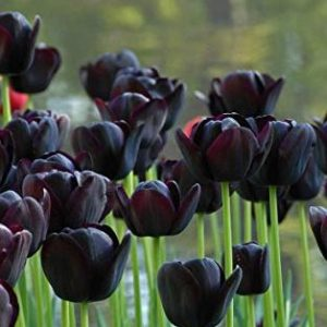tulipani queen of the night